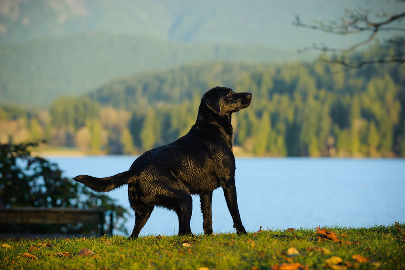 Black labrador standing by river against mountains
