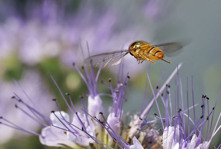 Phacelia Tanacetifolia Animal Themes Animal Wildlife Animals In The Wild Beauty In Nature Bee Close-up Day Flower Flower Head Flying Insects Focus On Foreground Fragility Freshness Hoverfly On Flower Insect Macro Nature No People One Animal Outdoors Perching Plant Pollination Purple
