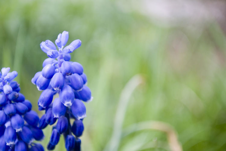 Beauty In Nature Botany Close-up Day Flower Flower Head Flowering Plant Focus On Foreground Fragility Freshness Growth Hyacinth Inflorescence Lilac Nature No People Outdoors Petal Plant Purple Selective Focus Softness Springtime Vulnerability