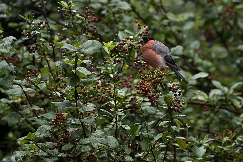 Eurasian Bullfinch (Dompfaff) in my garden Animal Themes Animals In The Wild Beauty In Nature Bird Branch Day Eurasian Bullfinch Food Growth Leaf Nature No People One Animal Outdoors Perching Tree