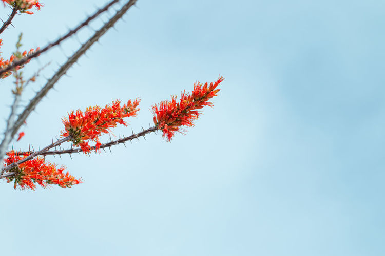 Low angle view of red maple tree against sky