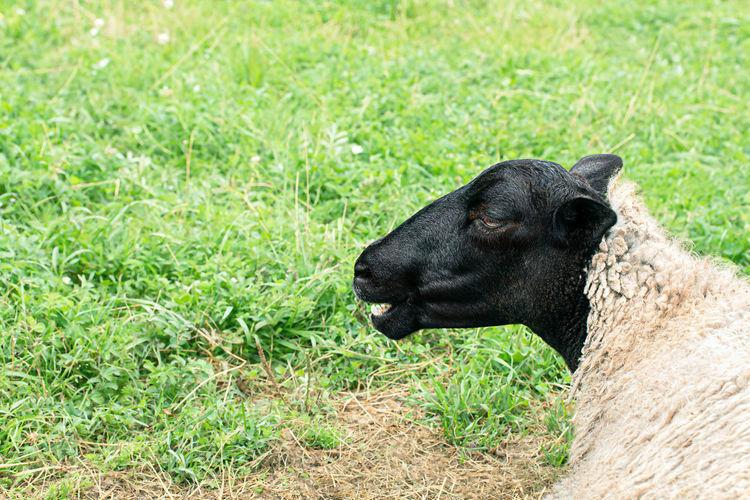 Black cat lying on grass