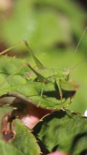 Close up of a grasshopper green color insect On A Green Leaf 🍃