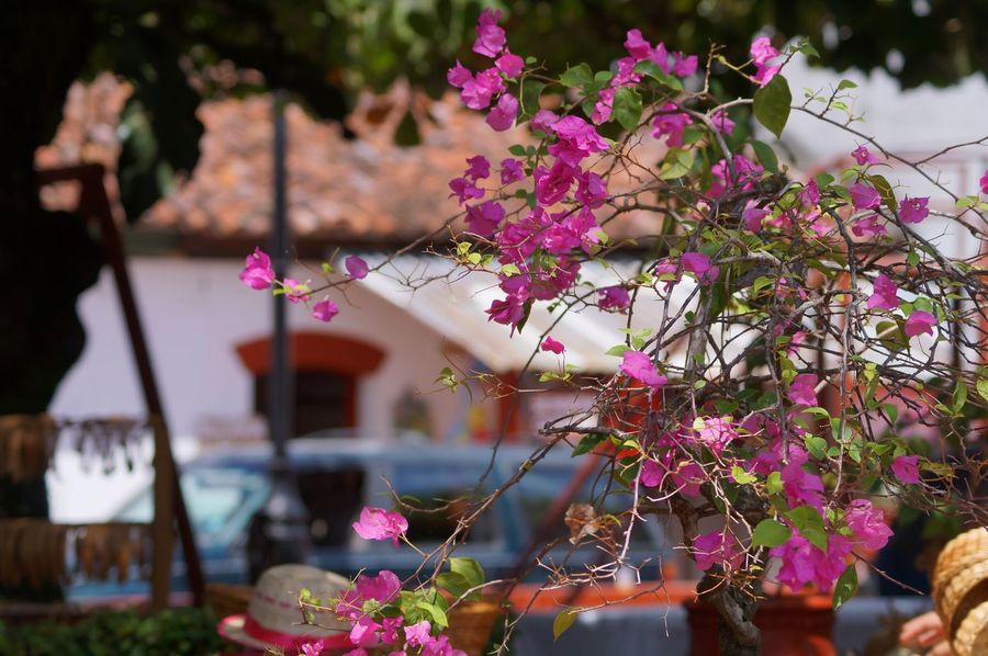 Architecture Beauty In Nature Bougainvillea Building Exterior Close-up Day Flower Fragility Nature No People Outdoors Pink Color Plant