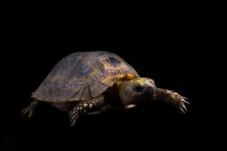 Close-up of tortoise on black background