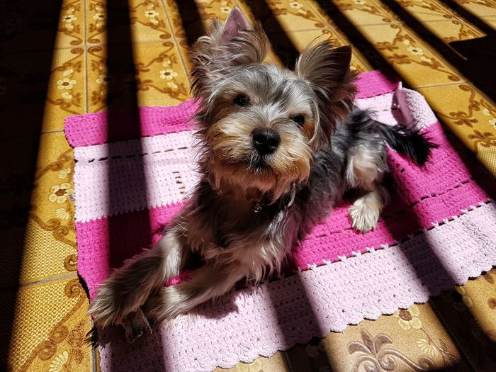 Pets Portrait Dog Looking At Camera Close-up Puppy Lap Dog Young Animal Purebred Dog Canine Terrier Yorkshire Terrier Pet Clothing
