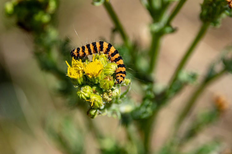 Cinnabar moth eating common ragwort Animal Animal Themes Animal Wildlife Animals In The Wild Beauty In Nature Cinnabar Catepillar Cinnabar Moth Caterpillar Close-up Common Ragwort Flower Flower Head Flowering Plant Fragility Freshness Insect Invertebrate Nature No People One Animal Outdoors Plant Pollination Selective Focus Vulnerability  Yellow