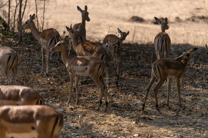 Impalas on field