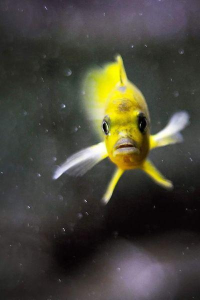 Fish Aquarium Aquarium Life Malawi Cichlid Nikkor 50mm F1.8