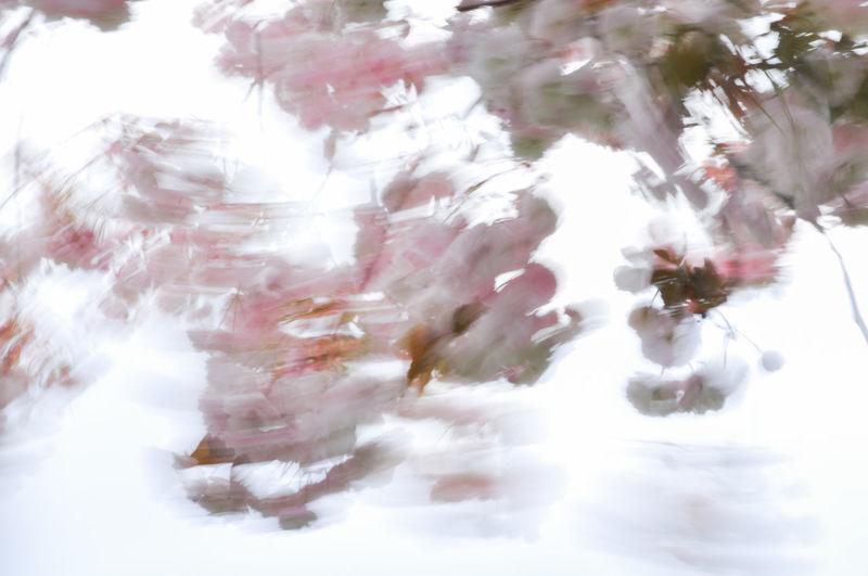 Cherry Blossoms Motion Blur Wind Blown Blurred Motion Cherry Tree Motion Moved By Wind Prunus Serrulata Shirofugen Sakura Blossom Sky Wind
