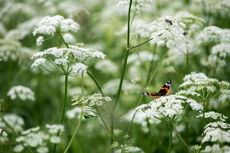 Butterfly pollinating on white cow parsnip flowers