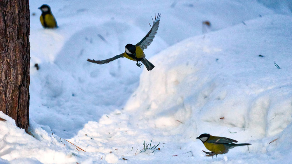 Animal Themes Animal Wildlife Animals In The Wild Beauty In Nature Bird Cold Temperature Day Flying Nature No People One Animal Outdoors Snow Spread Wings Tomtit Wildlife Winter