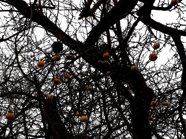 Apple Tree Apples Yellow Yellow Color Christmas Decorations Tree Branch Fruit Silhouette Forest Sky Treetop Tree Canopy  Dense Apple Fruit Tree Twig Orchard