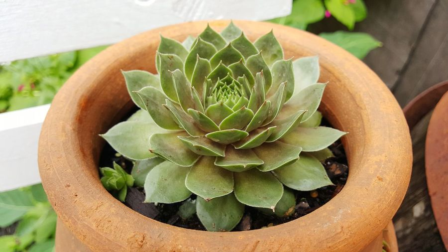 High angle view of succulent plant in pot