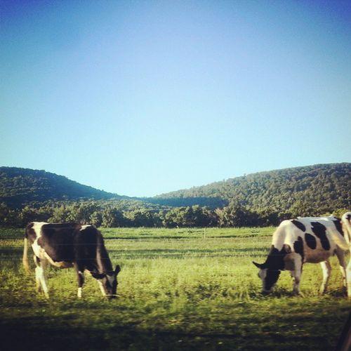Two cows grazing Amishcountry Farm Cattle Landscape field mountains explorepa cows grazing explorepa trb_members1 pennsylvania