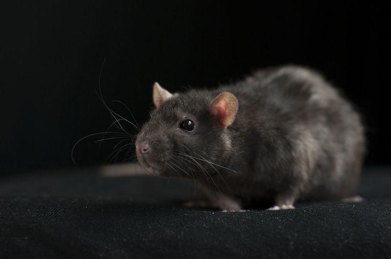 Rattus norvegicus, the common brown rat Alertness Animal Animals Animals In The Wild Bridge Brown Rabbit Curiosity Mammal One Animal Portrait Rattus Norvegicus Selective Focus
