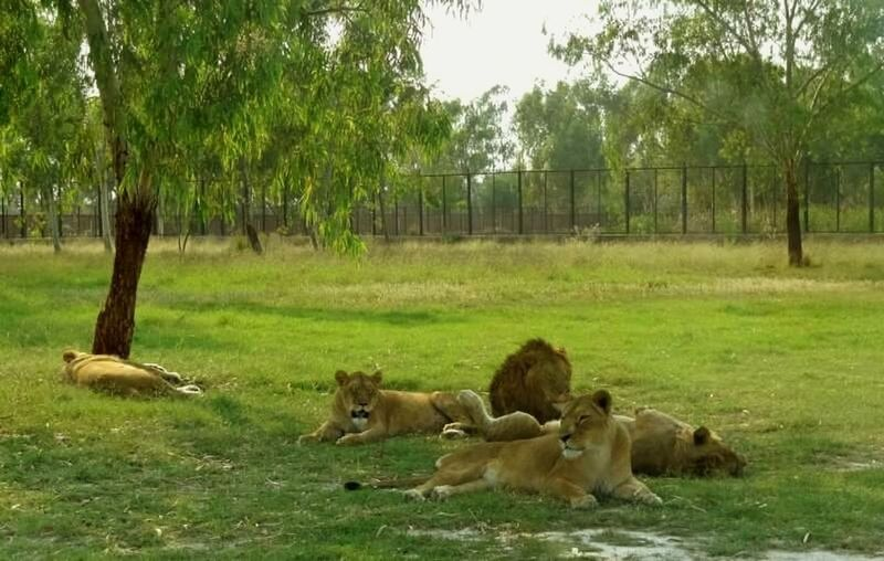 Hidden Gems  Lion Safari