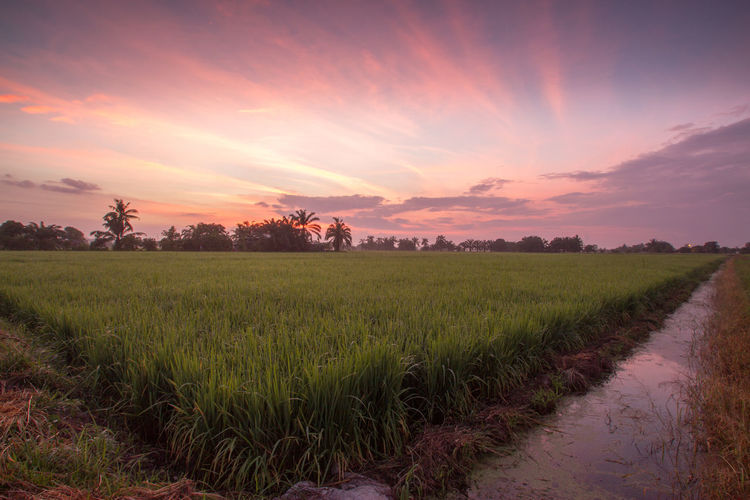 The green paddy paddy fields are a delight Padi Field Agriculture Beauty In Nature Field Growth Land Landscape Nature Sky Tranquility