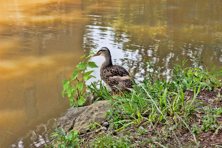 Duck at the Pond Shore Creek Pond Animal Animal Themes Animal Wildlife Animals In The Wild Bird Day Duck Duck At Pond Grass Nature No People One Animal Plant Vertebrate Water