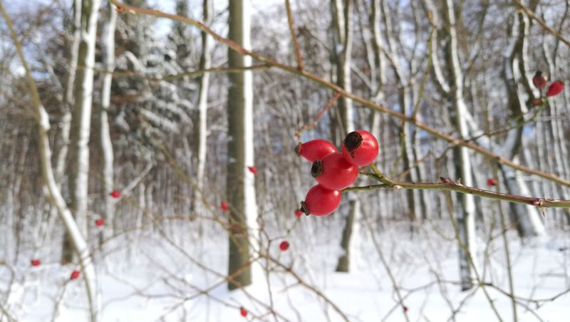 Winter Snow Cold Temperature Tree Red Nature Branch Beauty In Nature Outdoors Twig Day Ice Frozen Rose Hip Fruit No People Forest Snowflake Snowing Shades Of Winter