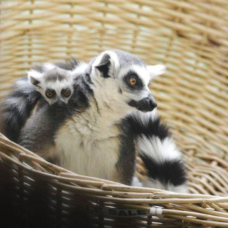 Lemurs, Bristol zoo Bristol, England Bristol Bristol Zoo Lemurs Lemur