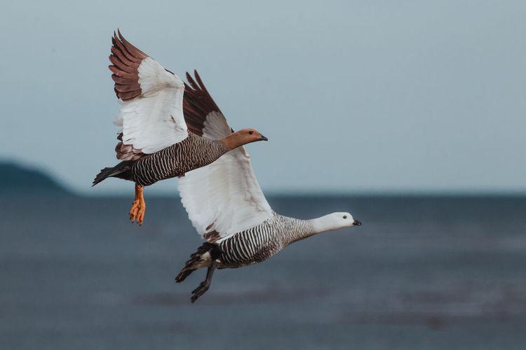 Low angle view of geese flying in sky