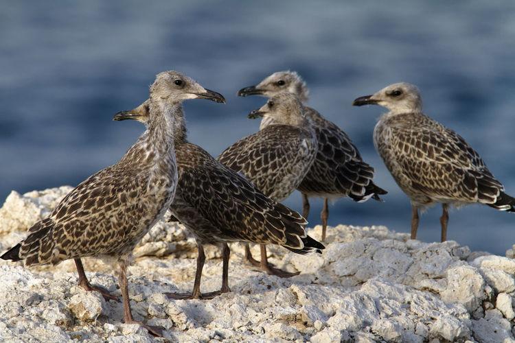 Young yellow-legged gull colony on brijuni national park