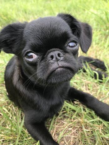 Petit Brabancon Brabancon Dog Griffonbrabancon Griffon Griffonlovers A Dogs Life Dogs DogLove I Love My Dog Cute Pets Ilovemydog