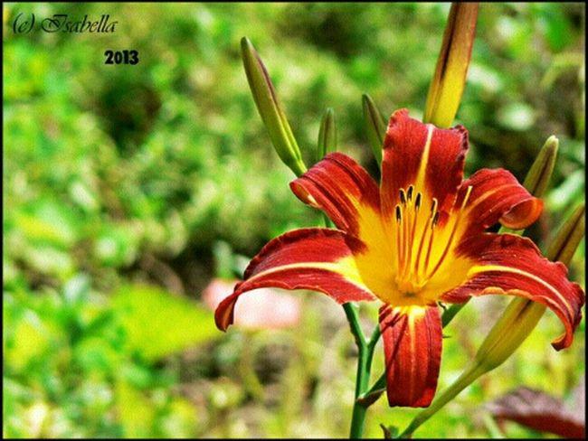 лилейник цветок  оранжевый Природа сад