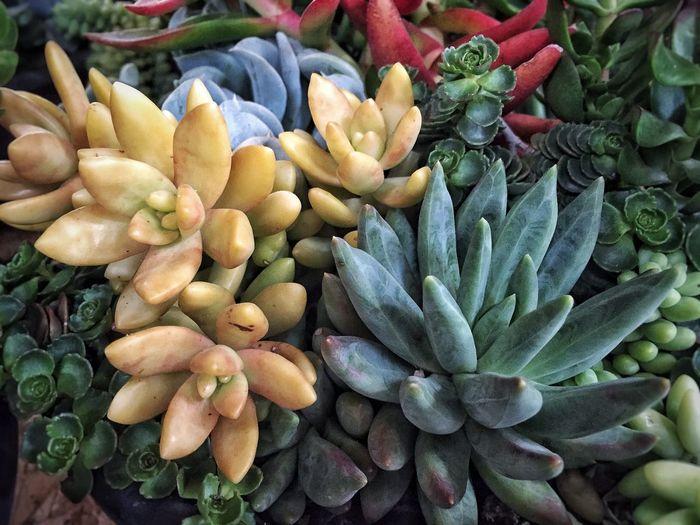 Full frame of succulent plants
