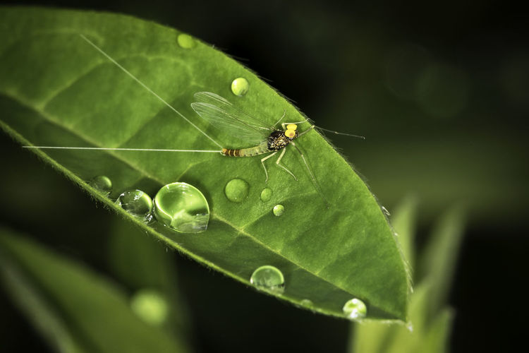 970 - 20170518 Medium Olive Mayfly Medium Olive Mayfly Animal Animal Themes Animal Wildlife Animal Wing Animals In The Wild Close-up Day Dew Drop Green Color Growth Insect Invertebrate Leaf Mayfly Nature No People One Animal Outdoors Plant Plant Part Purity Selective Focus Water