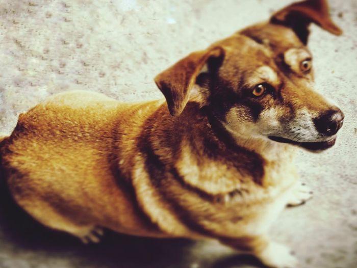 dog Pets Beagle