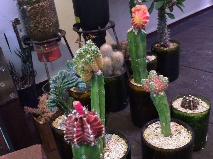 found a new Cactus