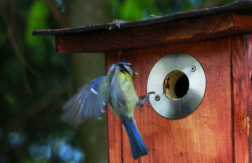 Animal Themes Animal Wildlife Animals In The Wild Bird Bird Feeder Blaumeise Close-up Day Focus On Foreground Nature Nistkasten No People One Animal Outdoors Perching Singvogel Spread Wings Wood - Material