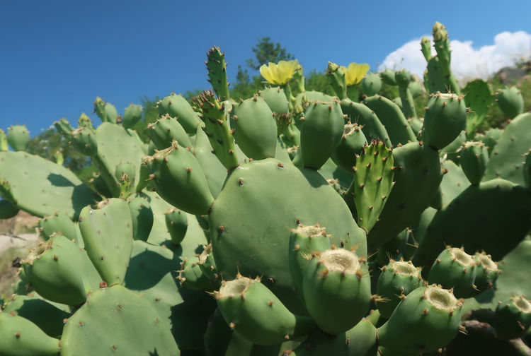 Cactus Nature Wildlife & Nature Wildlife Photography Blue Cactus Clear Sky Close-up Day Flower Freshness Green Color Growth Nature Nature_collection No People Outdoors Plant Prickly Pear Cactus Sky Spiked Succulent Plant Sunlight Thorn Tranquility Wild Plant