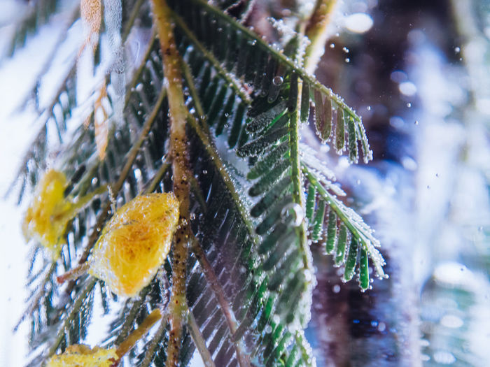 Cold Temperature Winter Snow Plant Leaf Plant Part Close-up Nature Selective Focus No People Beauty In Nature Day Water Tree Frozen Growth Ice Green Color Outdoors Leaves Pine Tree Snowing Coniferous Tree Blizzard