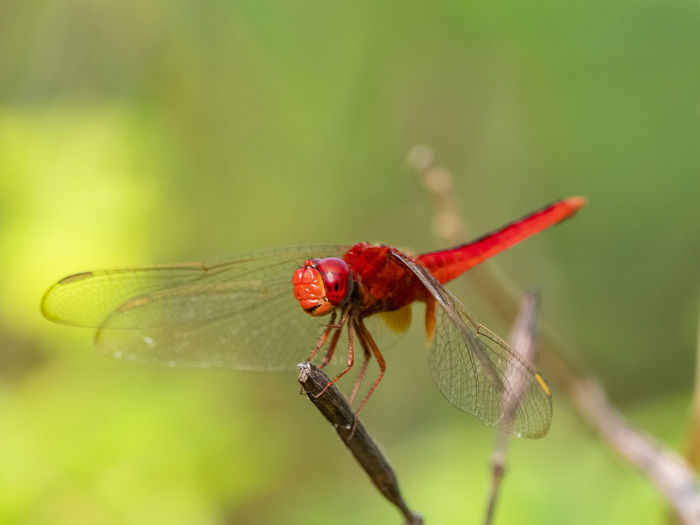 Scarlet Skimmer Dragonfly (Crocothemis servilia) Invertebrate Animal Insect Animal Themes Animal Wildlife Animals In The Wild One Animal Close-up Animal Wing Plant Nature Red Dragonfly Focus On Foreground Green Color No People Day Outdoors Dragonfly Red Wings Spread