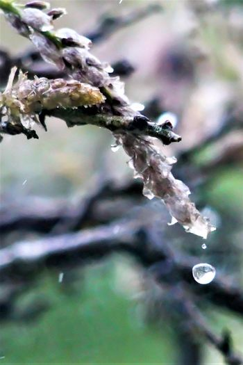 Beauty In Nature Drop Falling Droplet Focus On Foreground Fragility Freshness Rain Water Weather Wisteria Buds