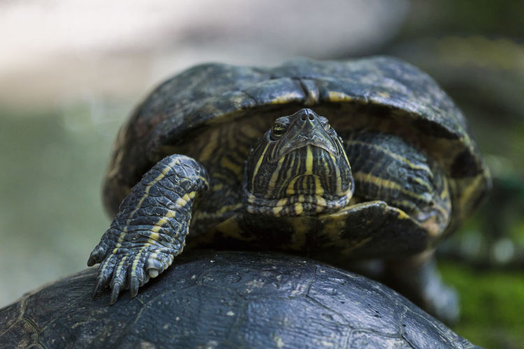 Close-up of red eared slider turtles outdoors