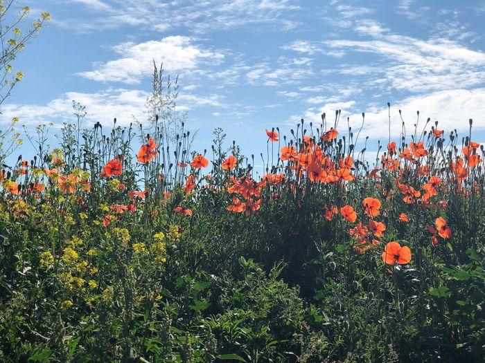 Flowering plants on field against orange sky