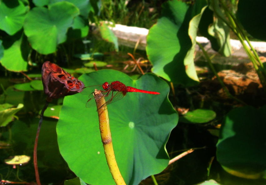 Acquaticplants Botany Dragonfly Favignana Focus On Foreground Green Background Leaves No People One Insect Red Color Sicily, Italy Water