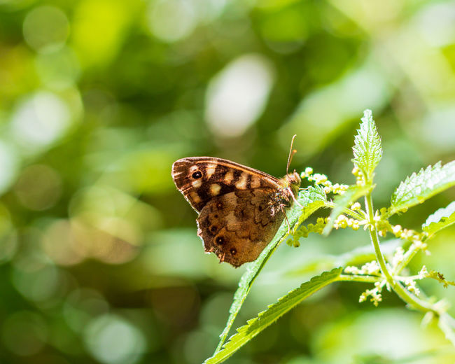 Butterfly ❤ Speckled Wood Butterfly Summertime WoodLand Animal Animal Themes Animal Wildlife Animal Wing Beauty In Nature Butterfly Butterfly - Insect Butterfly Collection Flower Green Color Insect Insect Photography Insects  Invertebrate Nature Nettle Speckled Wood Summer Woodland Walk Woodlands