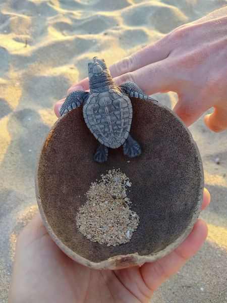 ♥️ Playa Bacocho Caring Love Summer Holidays Oaxaca Puerto Escondido Oaxacan Coast Liberacion De Tortugas Turtle Release Conservation Project Small Turtle Coconut Shell Love For The Environment Climate Change Hold Your Turtle Turtle Escape Turtle In A Coconut Shell Hatched Turtle Human Hand Water Beach Sand Holding Close-up Animal Shell Tortoise Shell Turtle Sea Turtle Slow