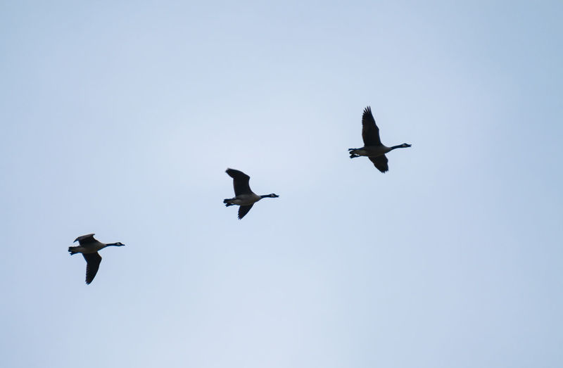 Low angle view of canada geese flying against clear sky