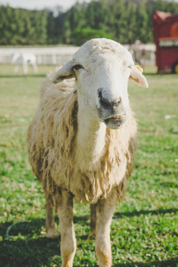 Portrait of sheep standing on field