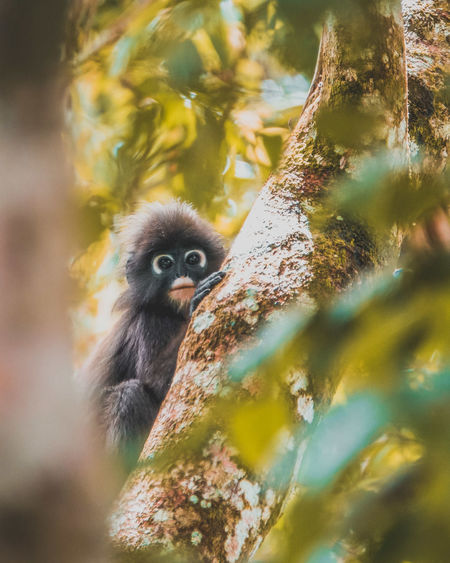 Dusky Leaf Monkey Animal Wildlife Animals In The Wild Animal Themes Animal Tree Close-up Looking At Camera Portrait Monkey Primate