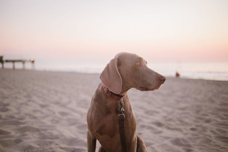 Close-up of dog on beach against sky during sunset