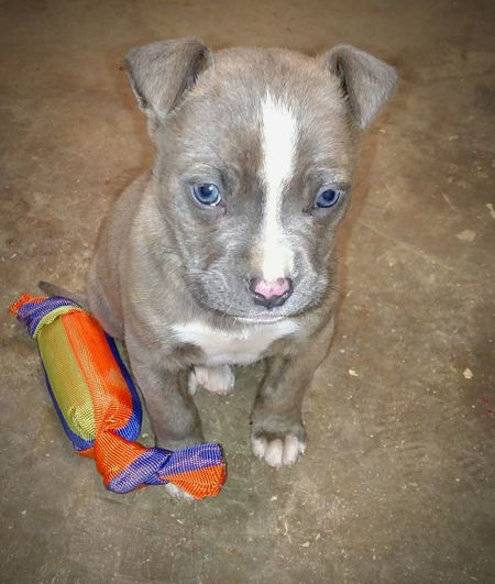 baby blue eyes Puppy, Dog, Pet, Animal, Cute, Pit Bull Terrier Sad Face Sad Puppy Eyes Precious Pets