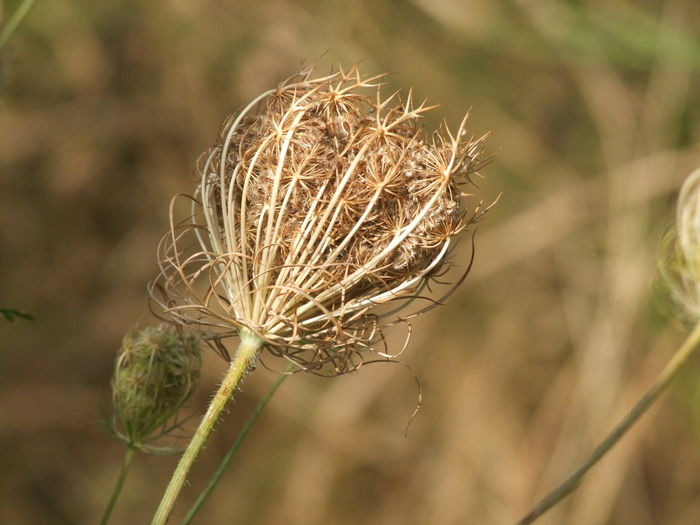 Beauty In Nature Close-up Dandelion Seed Day Dead Plant Dried Dried Plant Dry Flower Flowering Plant Focus On Foreground Fragility Freshness Growth Nature No People Outdoors Plant Plant Stem Selective Focus Tranquility Vulnerability  Wilted Plant