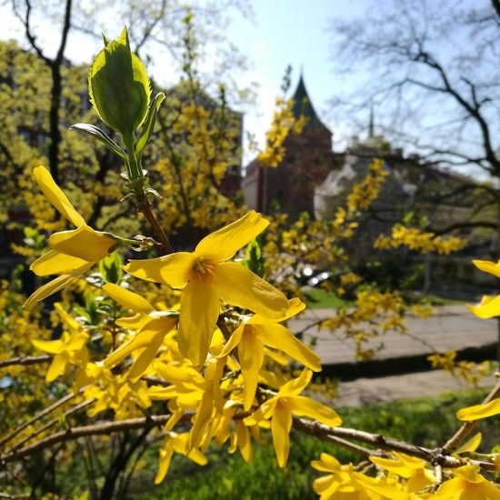 Spring is comming Forsythia Forsythia Blooms Forsythia Flowers Spring Riga RigaCity Sunny Day Flower Flower Head Yellow Leaf Close-up Sky Plant Blossom